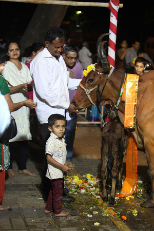 hindues: Pune, India - 7 de noviembre de 2015: los hindúes realizar un ritual para adorar a la vaca sagrada durante el festival de Diwali