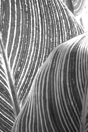 abstract black: Abstract patterns of the leaves of a tropical plant in black and white Stock Photo