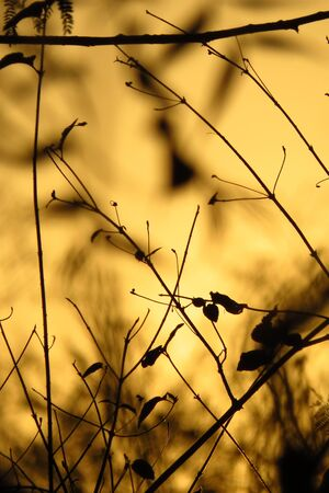 Silhouette of dry plants and trees on a golden evening light, in a dought hit area. Stock Photo