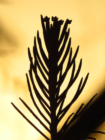 silhoutted: A silhouette of a beautiful cactus in the desert in the dusky light after sunset.
