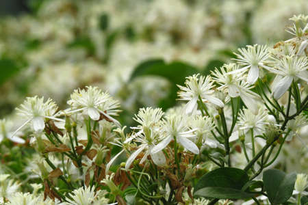 tropics: Bunches of white little flowers with beautiful fragrance from the Indian tropics.