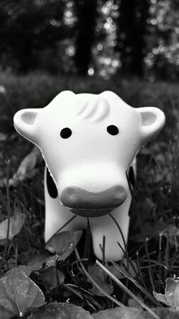 closeup: Small Cute Cow at Field