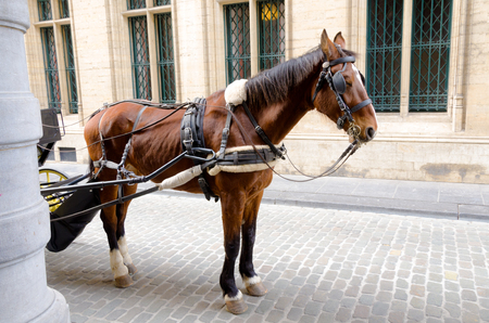 Harnessed horse waiting for tourists in Brussels