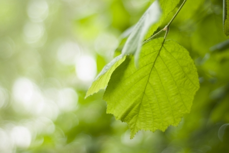 Close up of a  perfect bright green Hazel, corylus leaves with bokeh background