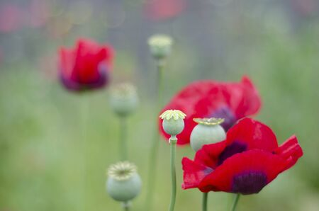 A close up of flowering poppies, Papaver Somniferum, with seed heads in meadow with green out of focus background containing colourful bokeh  Stock Photo