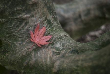 A pink autumnul maple, acer palmatum, leaf fallen to rest on maple tee trunk