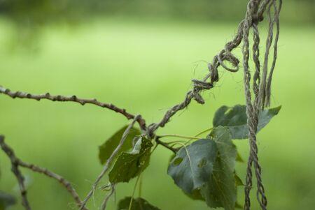 unravel: A sprig of Linden leaves tangled up