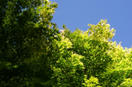 aceraceae: Close up of a cluster of Japanes Maple tree leaves with clear blue sky in background  Stock Photo