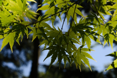aceraceae: Close up of a cluster of Japanes Maple tree leaves with the sun shining through