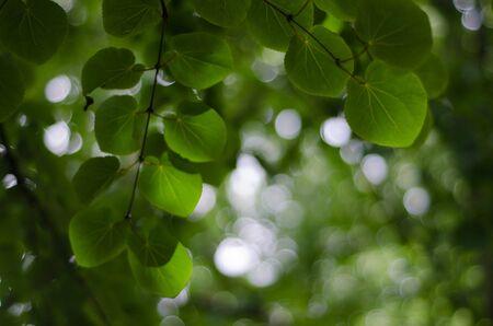 dappled: katsura - cercidiphyllum japonicum leaves from below