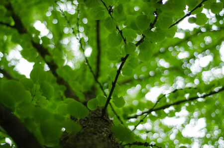 dappled: katsura - cercidiphyllum japonicum leaves and trunk  Stock Photo