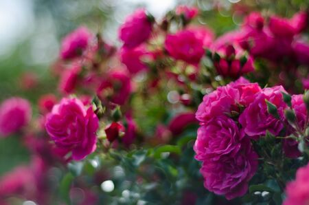 rosaceae: Pink Roses with more out of focus Roses in the background  Stock Photo