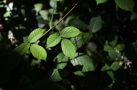 Bramble leaves highlighted with sunlight on the forest floor