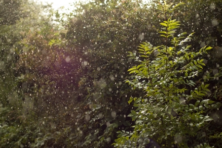 torrential: The sun shines through a clear patch illuminating the rain in a sudden downpour, the rain falling heavily onto a sapling