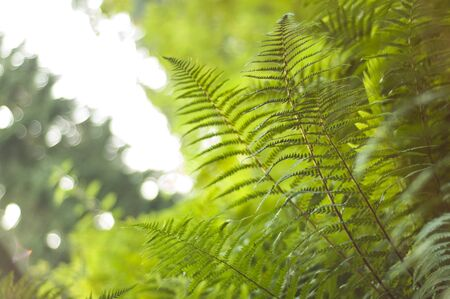Sunlight illuminating a fresh new ferns laden with spores with vibrant bracken canopy in the background