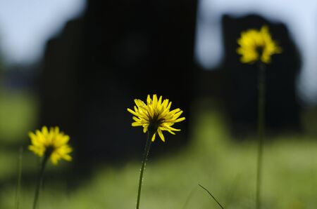 upright row: Three upright dandelion - Taraxacum officinale flowers in a row, with long stems, all facing the same way, to the sun.