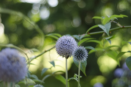 The purple, spherical, geometric flowers of the globe thistle - Echinops setifer , with one bloom of spiky unopened flowers and one fully opened, against a green background.