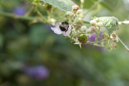 interrelated: A bee collectin gpollen from a bramble blossom next to a ripening blackberry