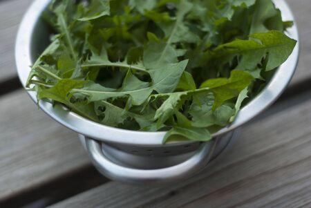 Dandelion - Taraxacum officinale Leaves in Metal Colander on wodd slat table