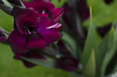 Looking down on burgundy -crimson Gladiola-gladioli, growing out grom lush green garden photo