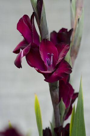 iridaceae: couple of deep burgundy-purple Gladiola-stems Stock Photo