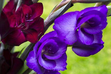 iridaceae: Opening flowers of burgundy -crimson and purple Gladiola-gladioli growing in a garden Stock Photo