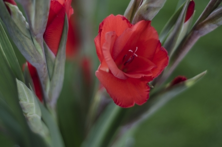 spay: A spay of scarlet red Gladiola-Gladioli-Gladiolus on a green background Stock Photo