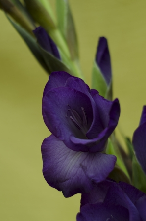 floral arrangements: A stem of purple gladiola -gladiolus flowers and buds with yellow background