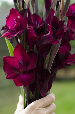Womans hand holding boquet of flowering, deep red-burgundy gladioli stems Stock Photo