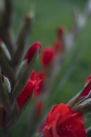 iridaceae: Stems of scarlet red Gladiola-Gladioli-Gladiolus  diagonal on a green background Stock Photo