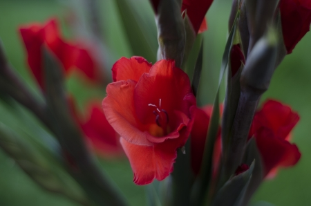 spay: A spay of scarlet red Gladiola-Gladioli-Gladiolus flowers and buds on a green background