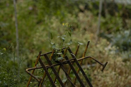 A young tomato plant with yellow blossoms and green ripening tomatoes, supported by an old, rusty, metal frame photo