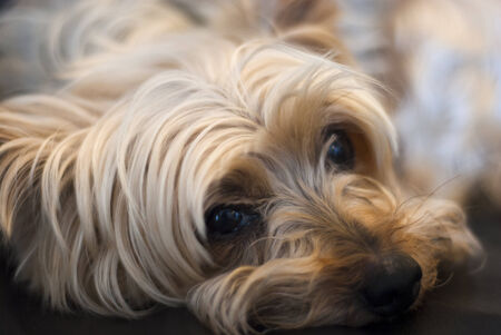 Close up of resting Yorkshire terrier looking at camera