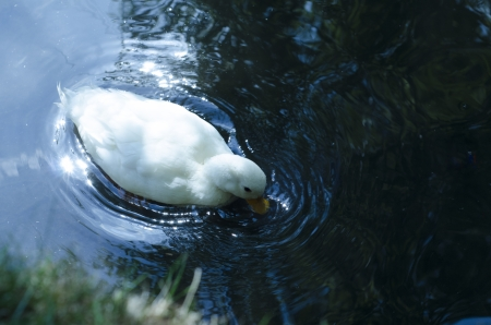 Sweet white duck  in sparkling water