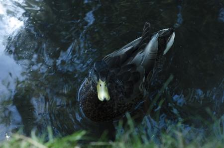 A mallard duck paddling in water looking at camera