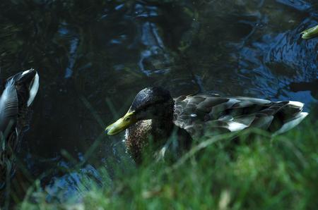 Mallard ducks in water near grassy bank waiting to be fed. Stock Photo