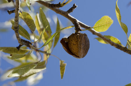 An Almond on the tree with blue skys in background Stock Photo