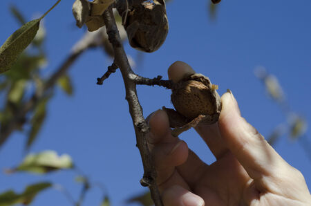 Picking an Almond from the tree with blue sky in the background