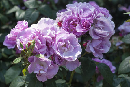 Pristine pink roses in an English garden Stock Photo