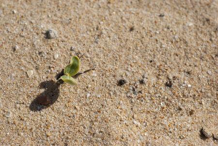 Fresh green shoots growing up through the sand on a beach