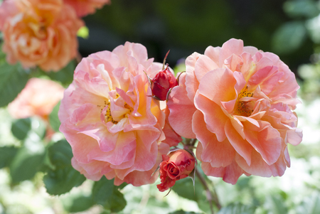 Yellow and pink roses in an English garden Stock Photo