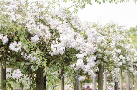 White roses sprawling over a garden walkway Stock Photo