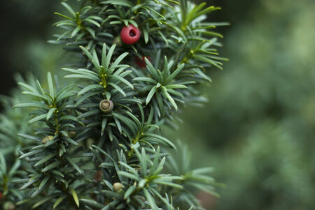 Close up of Yew Tree branch with red berries Stock Photo