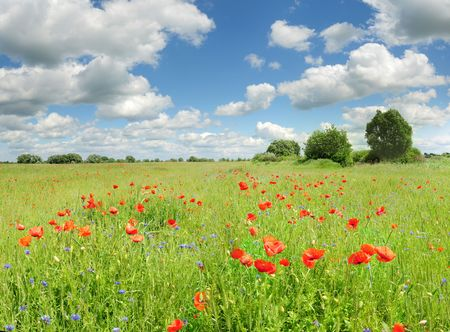 scenic landscape: red poppies scenic landscape with blue sky