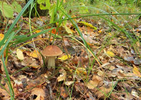 boletus mushroom: fresh boletus mushroom in a green moss