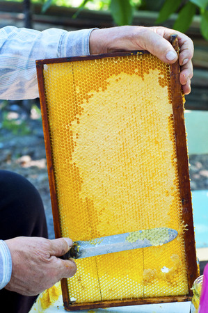 Beekeeper hand extracting honey from yellow honeycomb. Beekeeper cuts wax off from honeycomb frame with special knife.