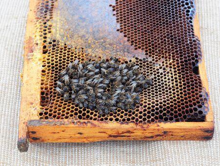 ミツバチの絶滅。養蜂家のミツバチの人口はますます急速な率で死んでされているが気付いています。