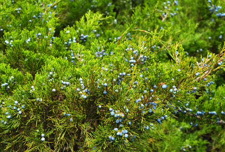 Green juniper with juniper berry Stock Photo
