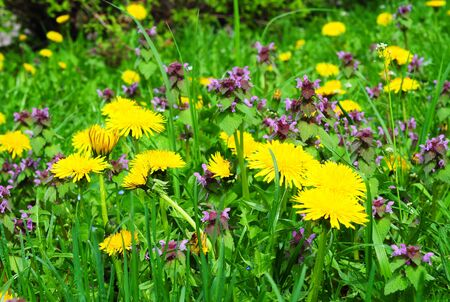 make known: Meadow Of Dandelions to Make Dandelion Wine. Taraxacum is a large genus of flowering plants in the family Asteraceae and consists of species commonly known as dandelion.