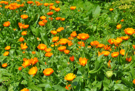 pot marigold: Summer background with growing flowers calendula. Calendula officinalis or Pot Marigold, Common Marigold, Scotch Marigold, Ruddles, Pot Marigold.